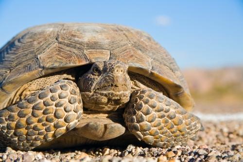 desert-tortoise1
