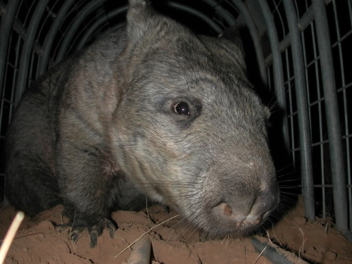 northern-hairy-nosed-wombat-alan-horsup-qpws